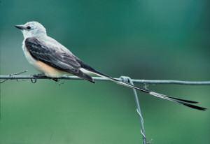 scissor_tailed_flycatcher